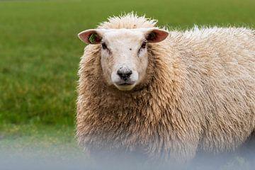 Neugierige Schafe von Mirjam Welleweerd