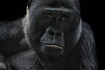 gorilla van