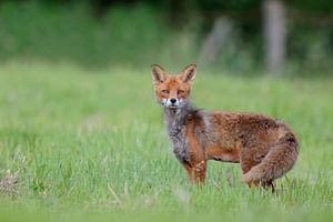 Attentive Red Fox ( Vulpes vulpes ), while change of coat, on a meadow, watching surprised directly