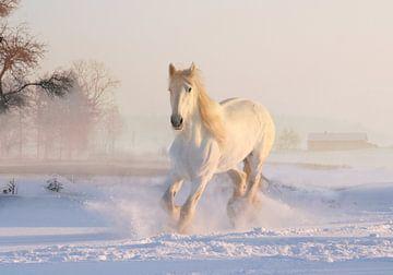 Wit paard van