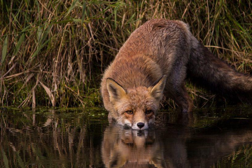 vos drinkt water van Roger Janssen