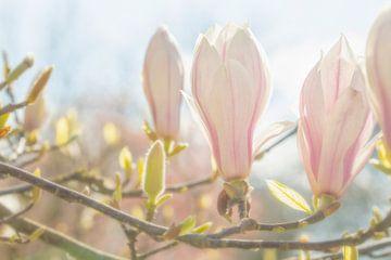Magnolien von Caroline van der Vecht