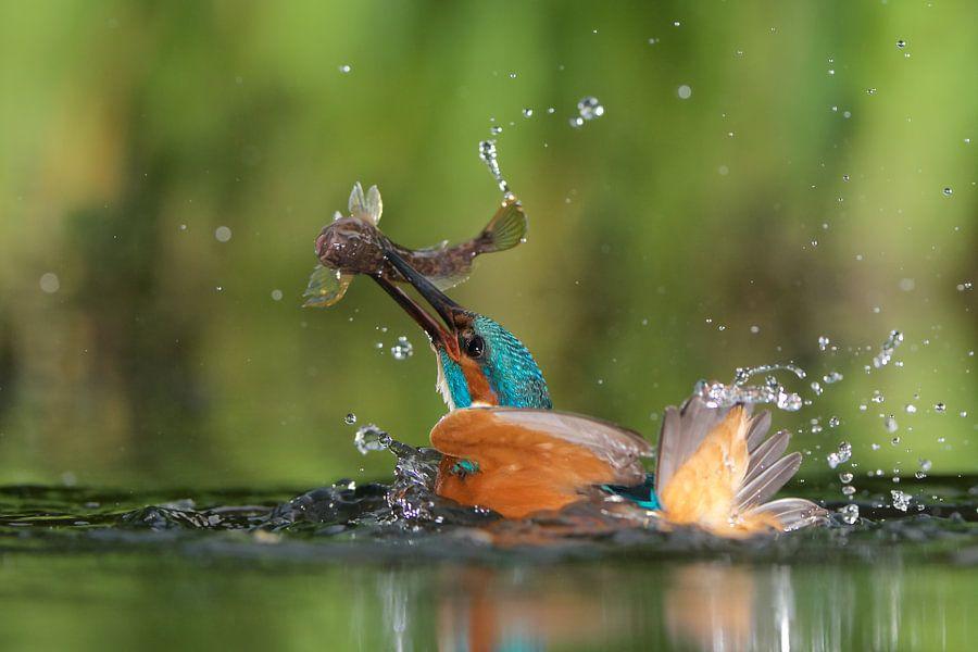 IJsvogel van Corné van Oosterhout