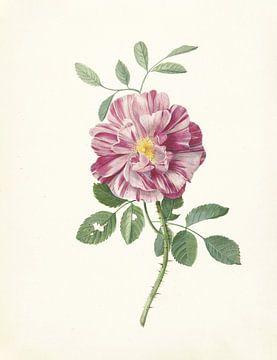 Rose von Pieter Withoos, 1664 - 1693