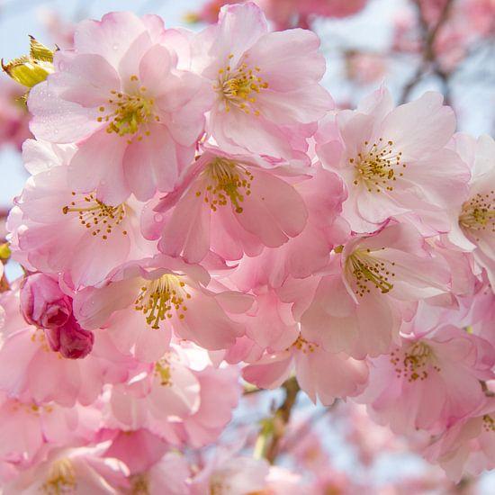 Roze bloeiende bloesem in de lente, vierkant