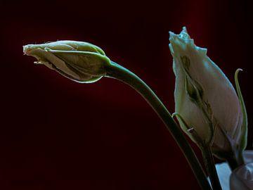 Roos in de knop von Arno Marx