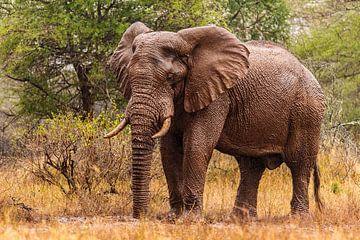 Afrikaanse Olifant in de regen van Rob Smit