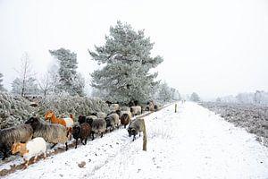 Tough Moorland Sheep