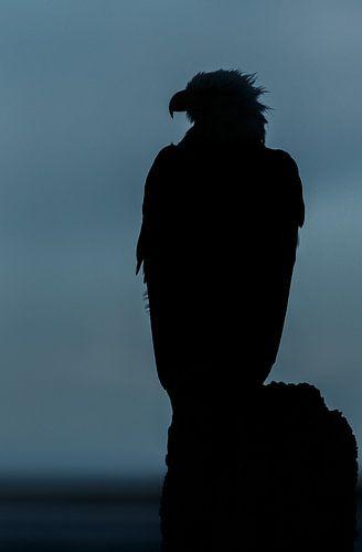 Amerikaanse Zeearend silhouette   van