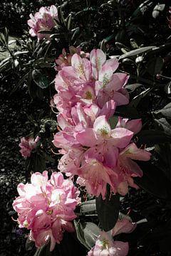 Rosa Rhododendren von Prints by Eef