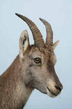 Steingeiss... Alpensteinbock *Capra ibex* von wunderbare Erde