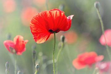 She definitely seduced me... (bloem, klaproos, rood, liefde) van Bob Daalder