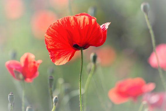 She definitely seduced me... (bloem, klaproos, rood, liefde)