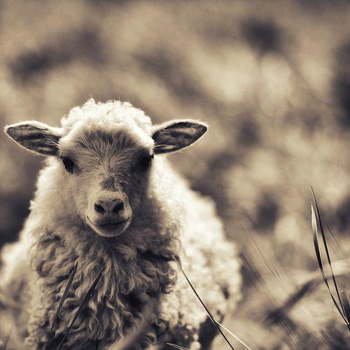 Little Lamb II