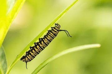 Rups van de Monarchvlinder van Hans Lunenburg