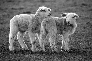 Lammetjes op Texel van
