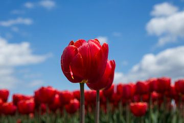 Hollandse tulpen von Saskia Bon