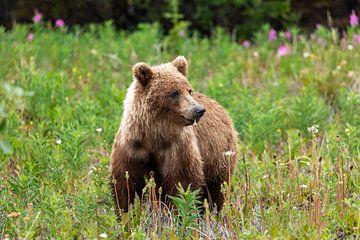Grizzlybär auf einer Wiese von Roland Brack
