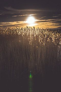 Tegenlicht op pluimen in een  rietveld van