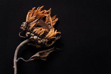 getrocknete Sonnenblume auf schwarzem Hintergrund. von Karel Ham