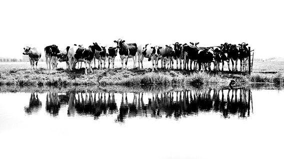 zwart/wit koeien