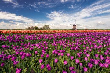 Tulpenveld met molen sur