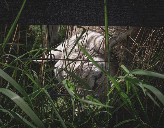 Verstopt schaap