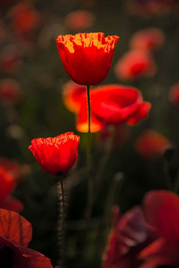 Poppies Beauty