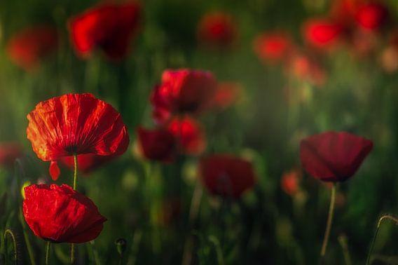 red poppy's