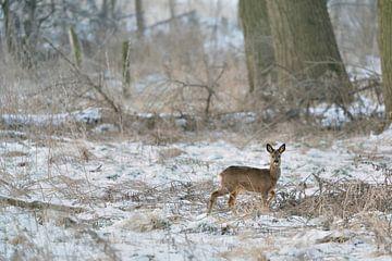 Roe Deer * Capreolus capreolus *, buck in winter, sur wunderbare Erde