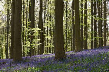 Hallerbos in het voorjaar von Michel van Kooten