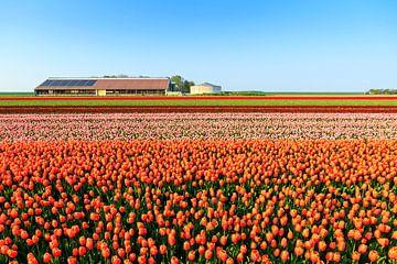 Tulpenvelden in de lente van
