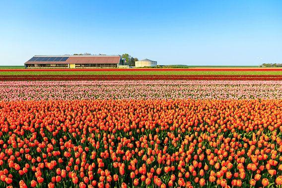 Tulpenvelden in de lente