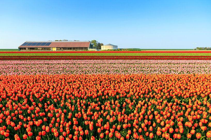 Tulpenvelden in de lente van Dennis van de Water
