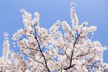 Blauwe lucht met witte bloesem bloemen van Evelien Oerlemans
