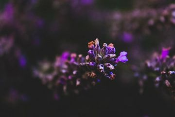 Dunkler Lavendel von Scarlett van Kakerken