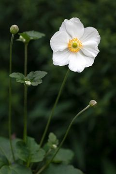Witte bloem von Evelyne Renske