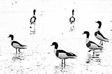 Enten von Sam Mannaerts Natuurfotografie