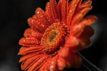 Gerbera oranje 1  sur John Ouwens
