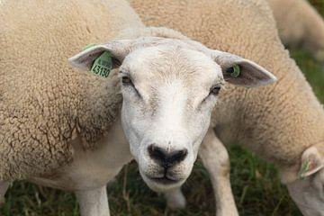 Portret van een schaap van Micha Papenhuijzen