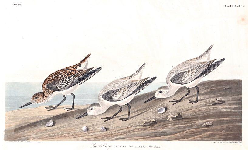Drieteenstrandloper van Birds of America