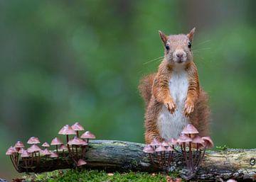 Rode eekhoorn en paddenstoelen van Marcel  Klootwijk
