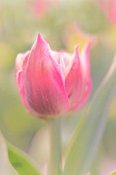 Tulp in ochtenddauw van