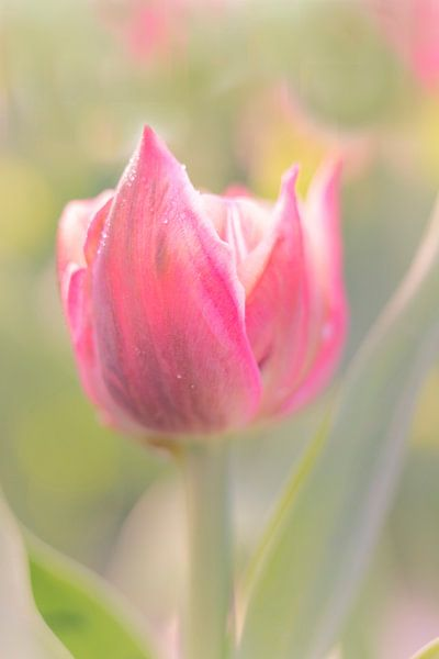 Tulp in ochtenddauw van Jacqueline de Groot