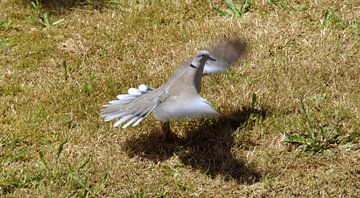Tortelduif laag vlucht- Dove low flight- Colombe de vol faible- von aldino marsella