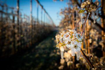 Gefrorene Blüten im Apfelgarten von Arthur Puls Photography