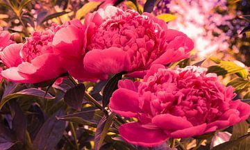 Herrliche rosa Pfingstrosen von Valeriia T