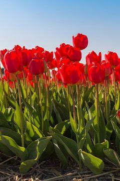 Rode tulpen van Maria Nevels