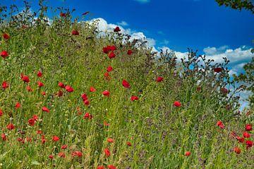 Wilde bloemen veld met klaprozen en de gewone ossentong van J..M de Jong-Jansen