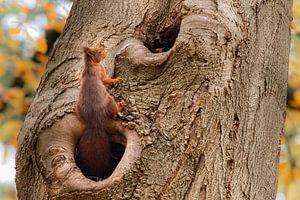 Eekhoorn verlaat zijn boomholletje van Cilia Brandts
